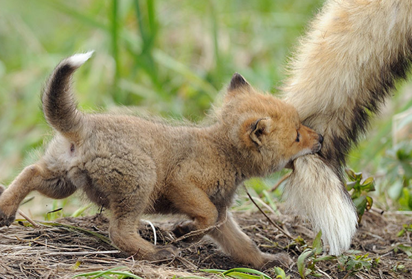 http://www.boredpanda.com/beautiful-fox-pictures/