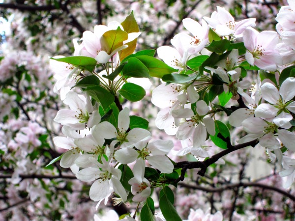 Photograph-Cherry-Blossoms-White-Flowers-Nature-2
