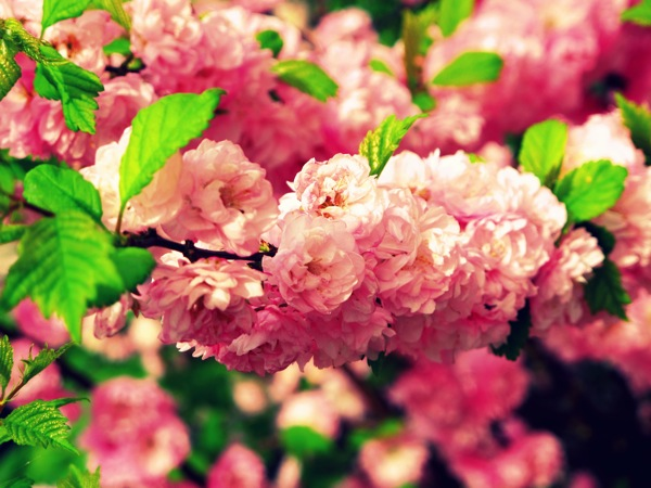 Photograph-Nature-Flowers-Pink-Cherry-Blossoms-Sakura-2