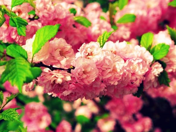 Photograph-Nature-Flowers-Pink-Cherry-Blossoms-Sakura-2