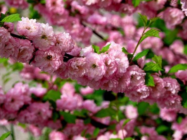 Photograph-Nature-Flowers-Pink-Cherry-Blossoms-Sakura