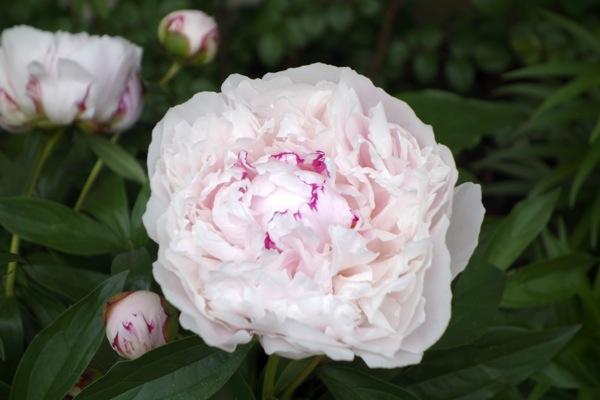 Photograph-Peony-Flower-Beautiful-Zen-Calm-Pink-Floral