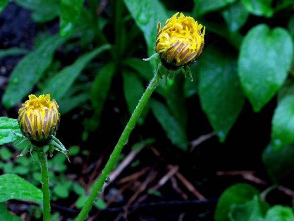 Photograph-Toronto-Flower-Yellow-Spring-Weather-Rain