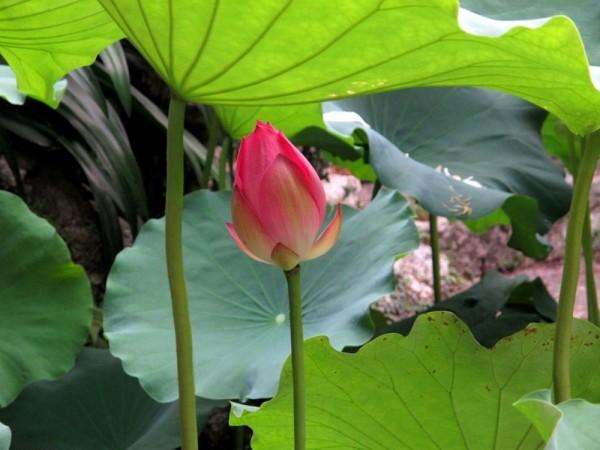 Photograph-Travel-Macau-Asia-Lotus-Flowers-Field-Single-Bud