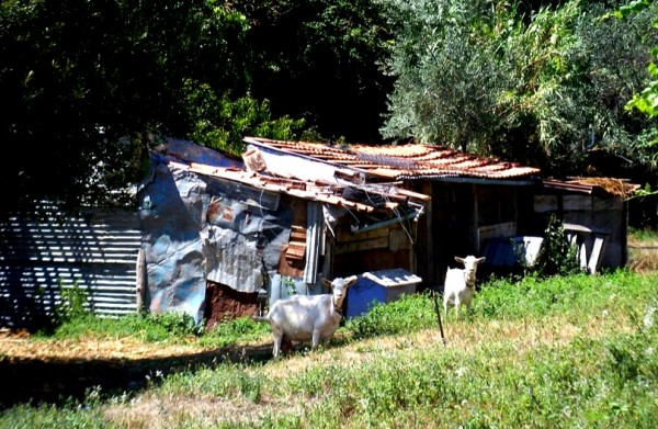 Portugal-Goats-Animal-House-Shelter