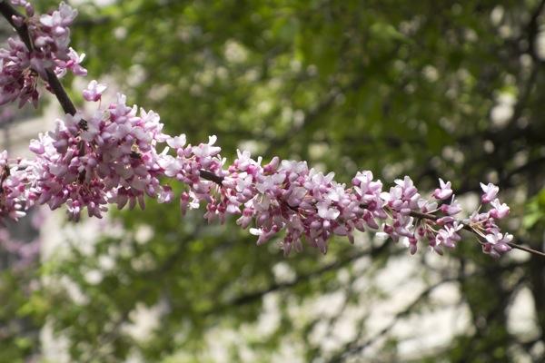 Sony-RX100-Camera-Photograph-Cherry-Blossom-Tree