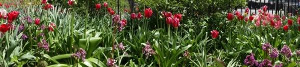 Sony-RX100-Camera-Photograph-Tulips-Field-Flowers-Panorama