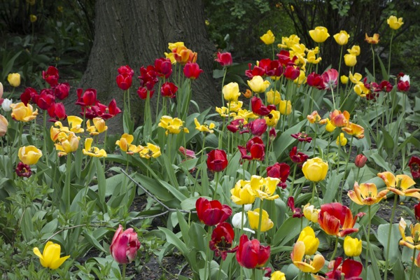 Sony-RX100-Camera-Photograph-Tulips-Field-Flowers