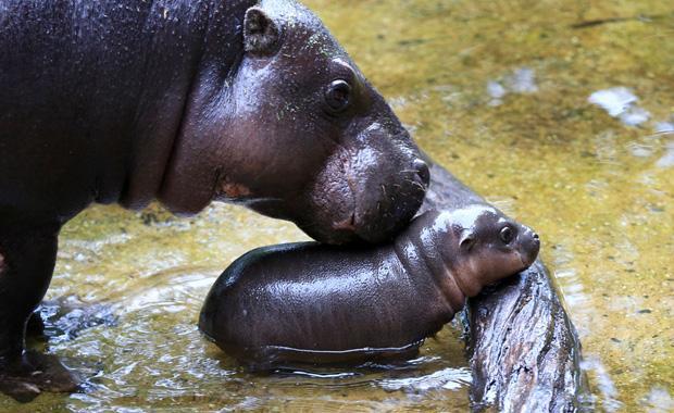 baby-hippo-obi-zooborns