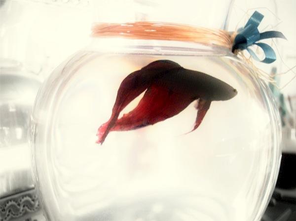 beta-fighting-fish-animal-bowl-swim