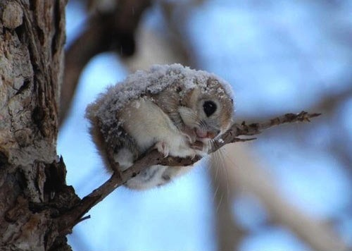 japanese-flying-squirrels-animals-cute-cuddly-friends-adorable