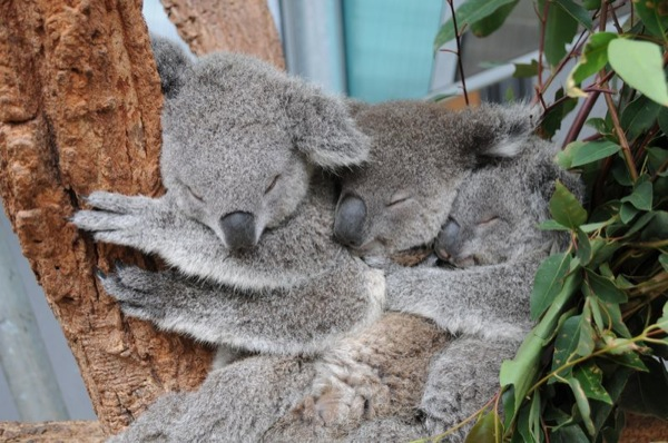koala-cuteness-cuddling