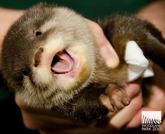 http://www.zooborns.com/zooborns/2014/03/otter-woodland-park-zoo.html