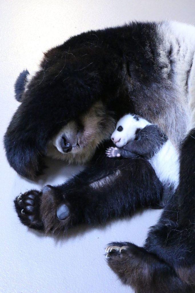 http://www.zooborns.com/zooborns/2015/12/toronto-zoos-panda-cubs-reach-another-milestone.html