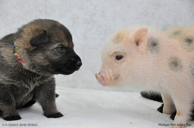 pigs-puppies-cute-friends-bffs