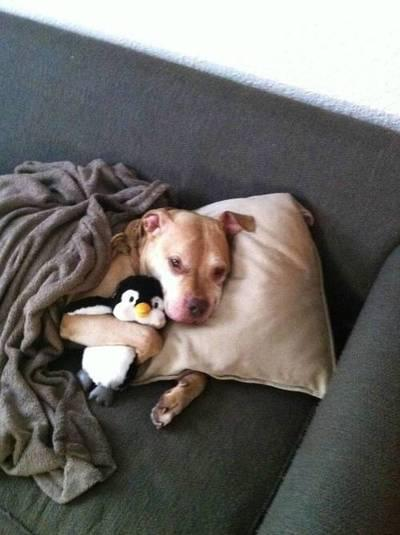 sleeping-with-stuffed-penguin-dog-cute-animal