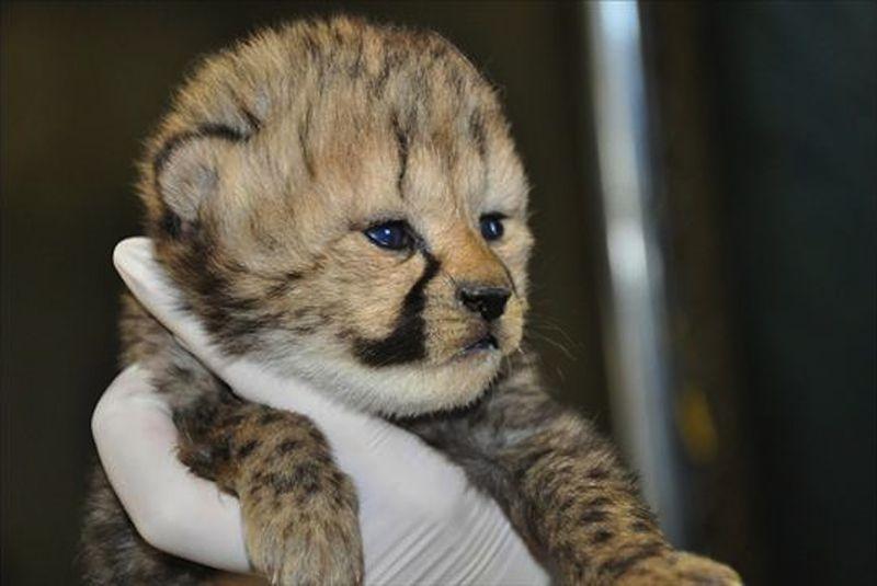 http://www.zooborns.com/zooborns/2013/12/cheetah-smithsonian-zoo.html